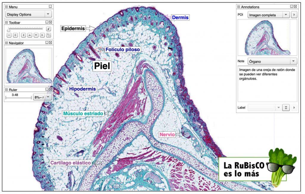 Actividades Y Laboratorio De Tejidos Anatomía Aplicada